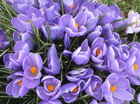 purple crocus  stock photo public domain pictures