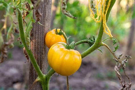 My tomatoes are still pretty green despite receiving a hefty watering every evening, but luckily i had the foresight to plant some small tomato varieties, which are coming in strong. Yellow tomatoes: popular yellow varieties | Plants Nepal