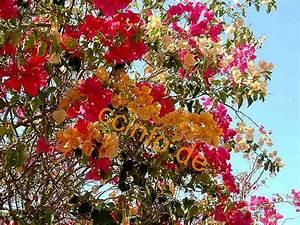 Bougainvillea Blüht Nicht : bougainvillea drillingsblume infos zur pflege und anzucht ~ Lizthompson.info Haus und Dekorationen
