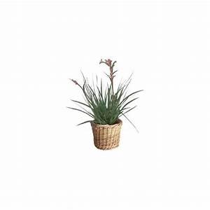 Plantes Et Jardin : plante kangourou cache pot plantes et jardins ~ Melissatoandfro.com Idées de Décoration