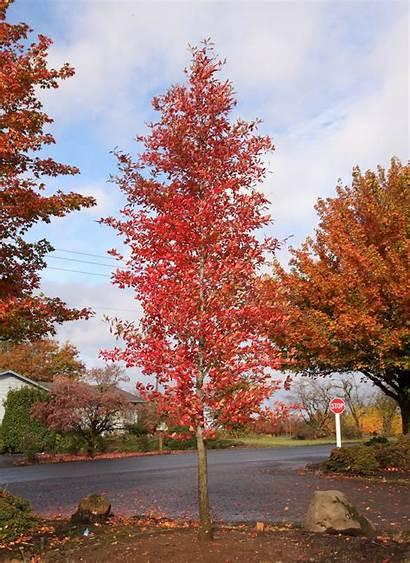 Tupelo Afterburner Seattle Trees Gov Schmidt Frank