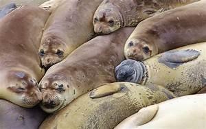 File:Elephant seal colony edit.jpg - Wikipedia