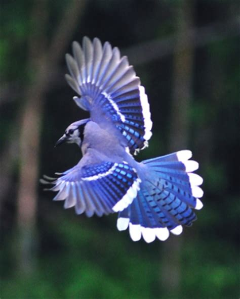 interesting blue jay facts  interesting facts