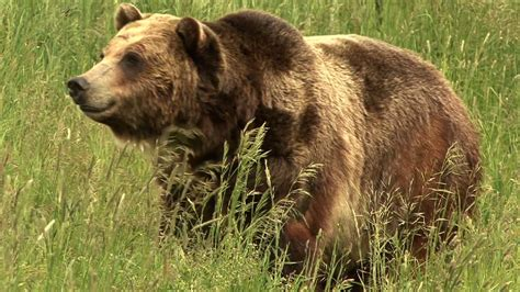 bears  scientists uncover clues  obesity diabetes