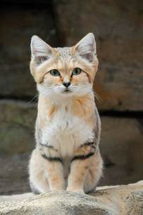 sand cats for in the meet the sand cat catster