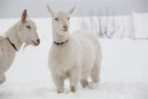 raise goats  house living