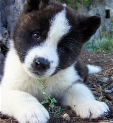 japanese akita puppy akita inu dog breed