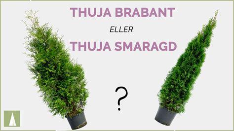Smaragd Oder Brabant by Thuja Brabant Eller Thuja Smaragd Skillnad
