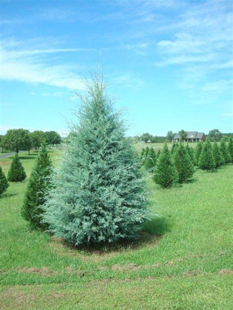 carolina sapphire 171 the christmas tree patch