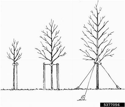 Tree Staking Cons Pros Planting Types Illustration