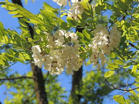 Robinia pseudoacacia L - Falsa acacia. Fichas de árboles en, http://www.elhogarnatural.com ...
