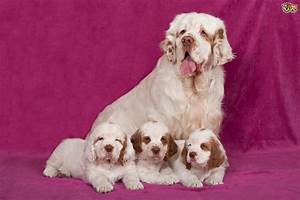 Clumber Spaniel | Dog Breed Facts, Highlights & Advice ...