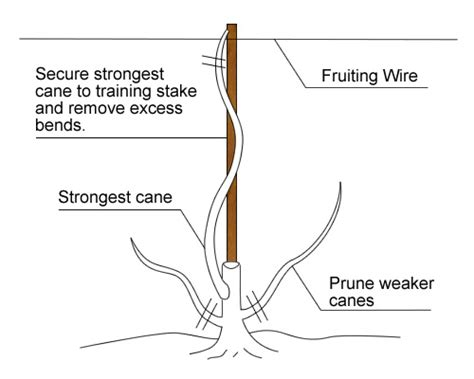 how to prune grape vines pruning grape vines images frompo