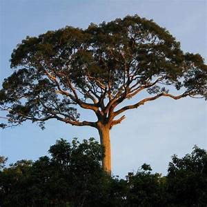 Species Profile: Kapok Tree (Ceiba pentandra) | Rainforest ...
