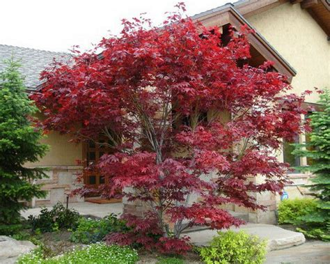 japanese red maple tree  foot tall  trade gallon pots