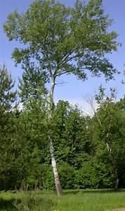 Trees Planet  Populus Alba  U2013 White Poplar  U2013 Abele