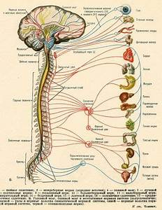 Nervous System  Can Pinched Nerves In An Inflexible Spine