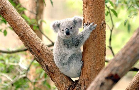 koalas population rapidly declining  australia due
