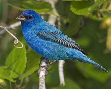 Indigo Bunting | Audubon Field Guide