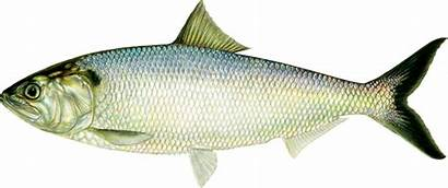 Fish Shad American Clipart Ct River Side