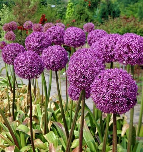 what are alliums allium flowers pinterest
