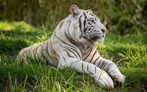Weißer Wurm Katze : wei er tiger gras gro e katze hintergrundbilder hd bild ~ Markanthonyermac.com Haus und Dekorationen