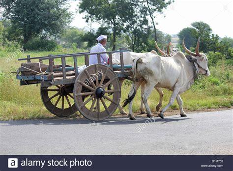 indian cart farmer on bullock cart bhimasanker near pune india stock