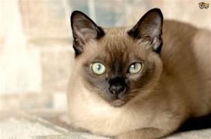 smartest cat breed 10 best smartest cat breeds and fur