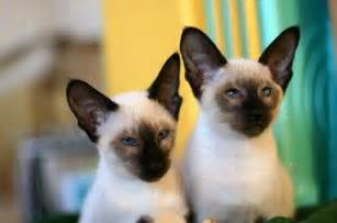 types of siamese cats different types of siamese cats colors 2016 siamese cats