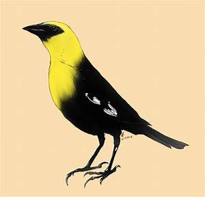 Process| Drawing exercise| Yellow headed black bird ...