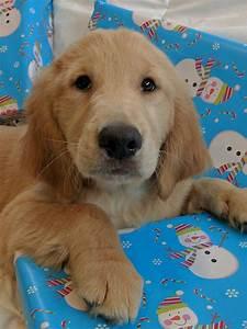 golden retriever puppies for sale fort gratiot township
