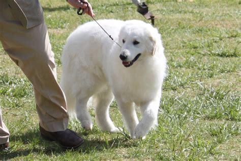 Great Pyrenees Shedding Information by Great Pyrenees Facts Information Breeds Picture