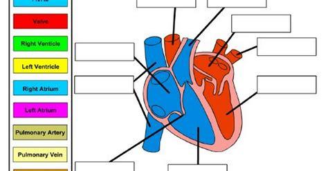 heart labeling practice worksheet pdf google drive