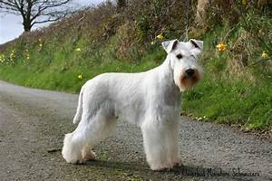White Schnauzer Stud Dogs, Black & Silver stud dog ...