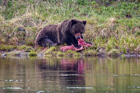 Yellowstone National Park Bear Attacks