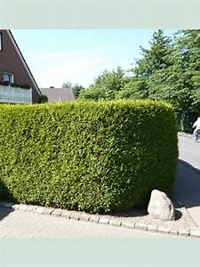 Thuja Brabant Oder Smaragd : thuja occidentalis 39 brabant 39 lebensbaum 39 brabant 39 225 250 cm solit r mit ballierung g nstig kaufen ~ Orissabook.com Haus und Dekorationen
