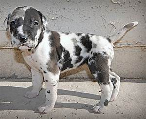 Grey Harlequin Great Dane