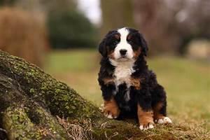Berner Sennenhund Gewicht : berner sennenhund hunderasse mit bild info temperament charakteristiken und fakten ~ Markanthonyermac.com Haus und Dekorationen