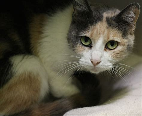 Itsme Dilute Calico Humane Society Of Dallas County