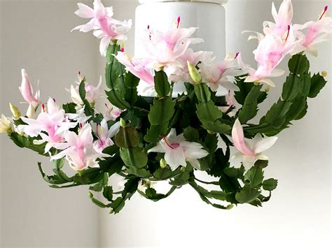 caring for your christmas cactus