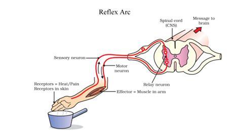 Diagram A Reflex Arc by Reflex And Reflex Arc Concepts Solved Questions