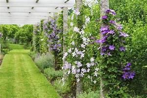 Immergrüne Kletterpflanze Für Zaun : 10 robuste clematis sorten sch ne kletterpflanzen f r garten ~ Michelbontemps.com Haus und Dekorationen