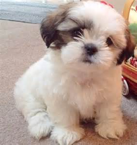 small young shih tzu adoptable cute top low shedding dog