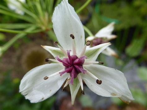 Teichpflanze, Teichblume