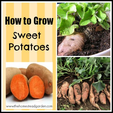 how to potatoes from garden how to grow sweet potatoes the homestead garden the