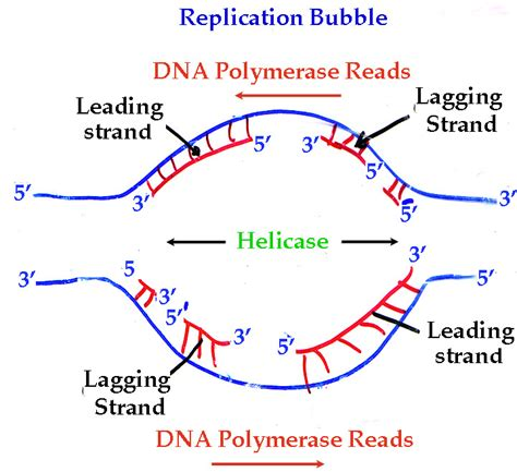 the enzyme uses atp to unwin dna template exam 2 biology 111 with rickoll at university of puget