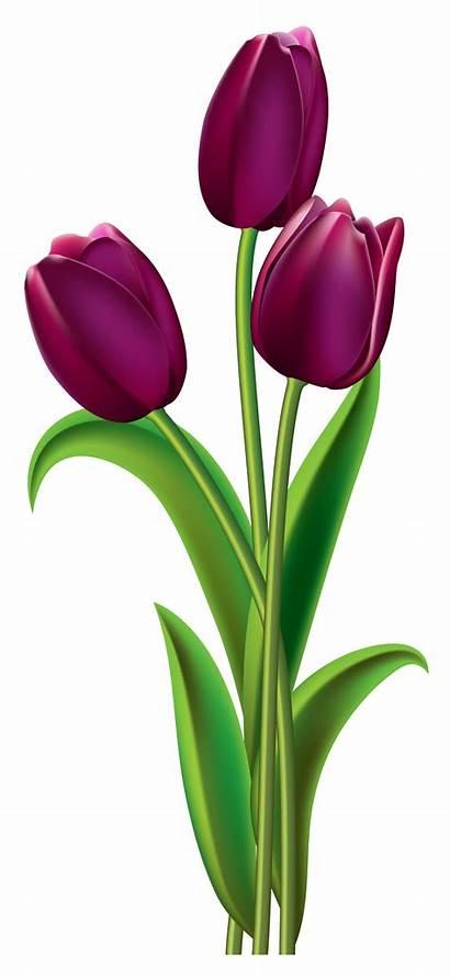 Tulip Tulips Transparent Clipart Flowers Background Flower