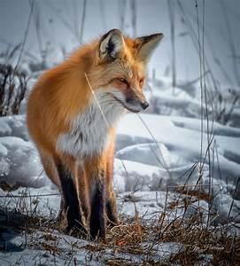 Yellowstone | Red Fox  Fox