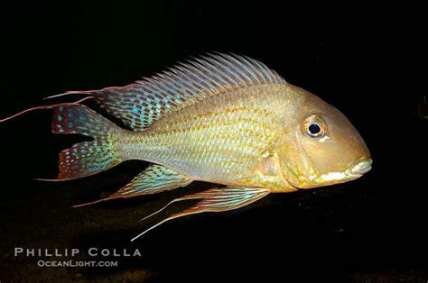 images  cichlids  pinterest spotlight