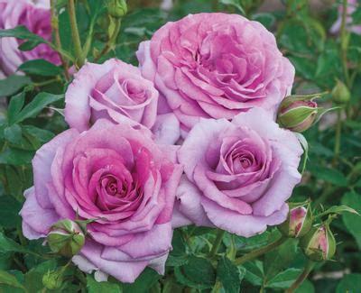 violets pride rosa floribunda violets pride regan nursery